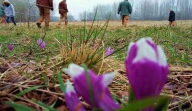 Šafranjika je jedna od najugroženijih biljaka u Srbiji